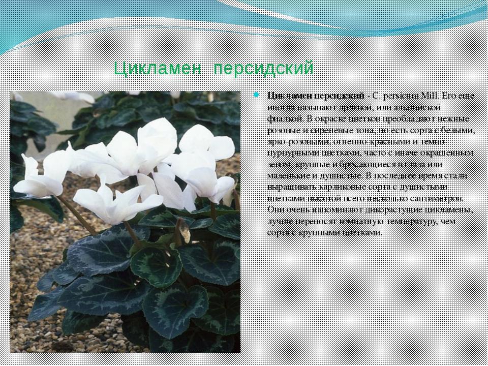Цикламен персидский Цикламен персидский - С. persicum Mill. Его еще иногда на...