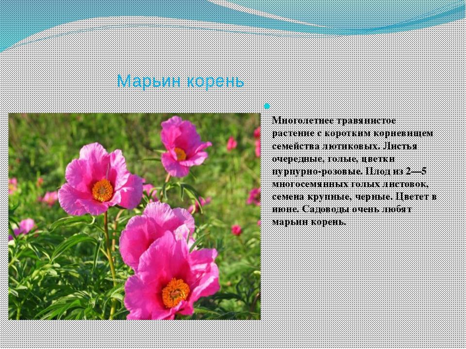 Марьин корень Многолетнее травянистое растение с коротким корневищем семейств...