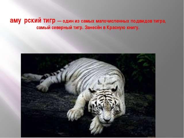 аму́рский тигр — один из самых малочисленных подвидов тигра, самый северный т...