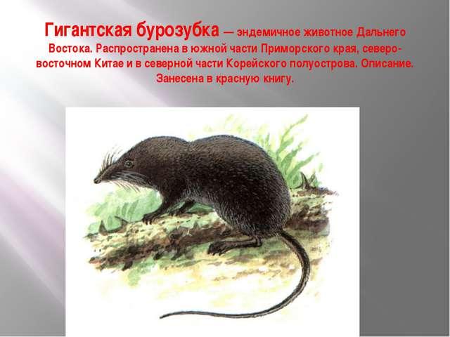 Гигантская бурозубка — эндемичное животное Дальнего Востока. Распространена в...