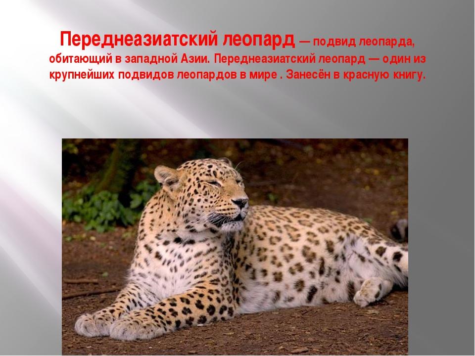 Переднеазиатский леопард — подвид леопарда, обитающий в западной Азии. Передн...