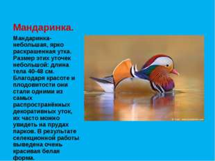 Мандаринка- небольшая, ярко раскрашенная утка. Размер этих уточек небольшой: