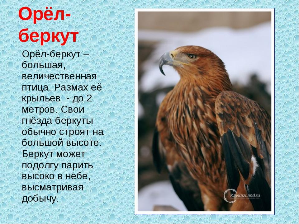 Орёл-беркут – большая, величественная птица. Размах её крыльев - до 2 метров....