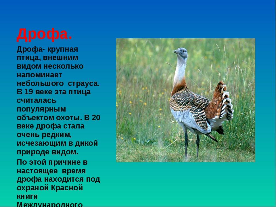 Дрофа- крупная птица, внешним видом несколько напоминает небольшого страуса....
