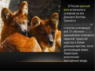 В России красный волк встречался в основном на юге Дальнего Востока. Занесён