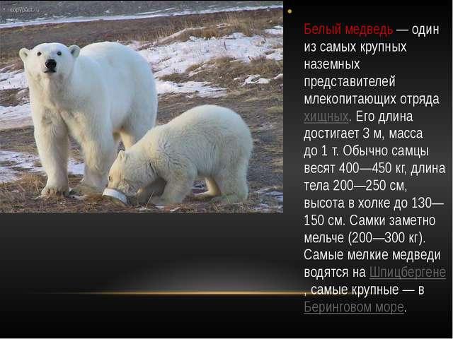 Белый медведь— один из самых крупных наземных представителей млекопитающих...