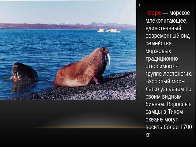 Морж — морское млекопитающее, единственный современный вид семейства моржовы...