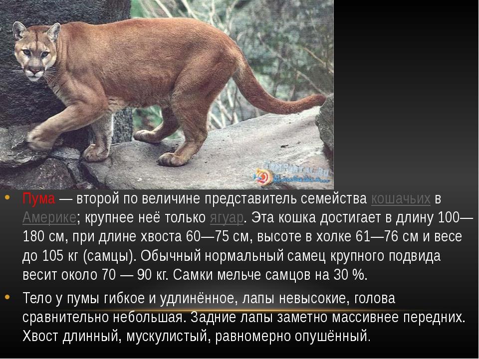 Пума— второй по величине представитель семейства кошачьих в Америке; крупн...