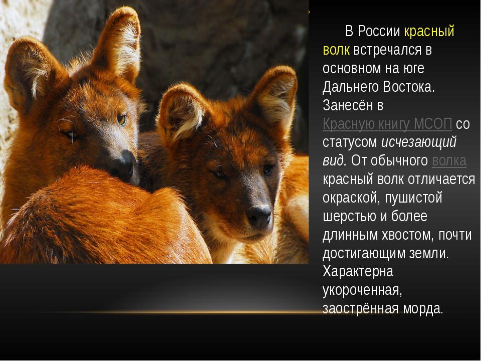 В России красный волк встречался в основном на юге Дальнего Востока. Занесён...