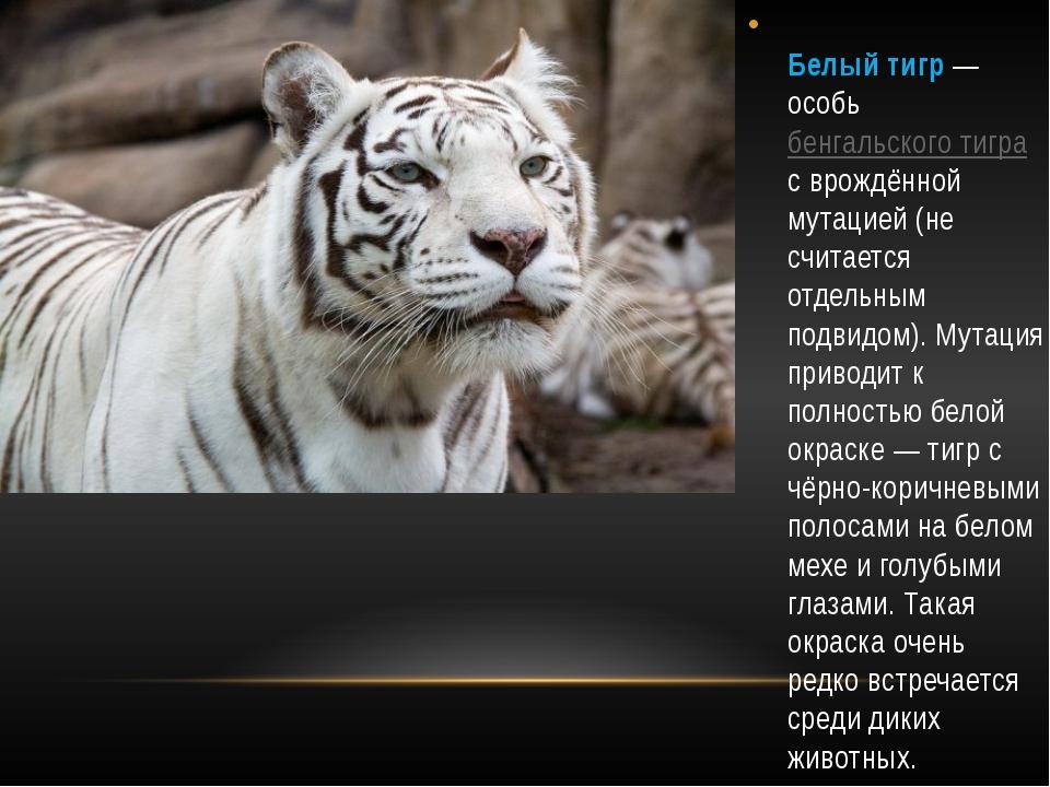 Белый тигр — особь бенгальского тигра с врождённой мутацией (не считается от...