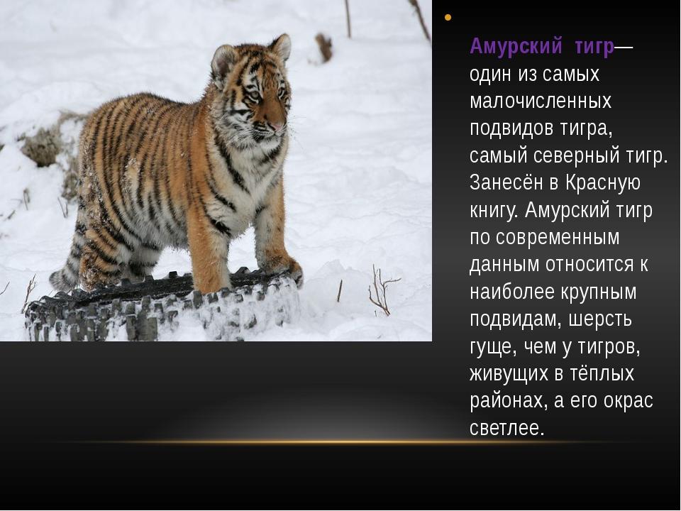 Амурский тигр— один из самых малочисленных подвидов тигра, самый северный ти...