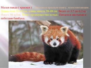 Малая панда ( красная ) – внесена в красную книгу, млекопитающие. Длина тела