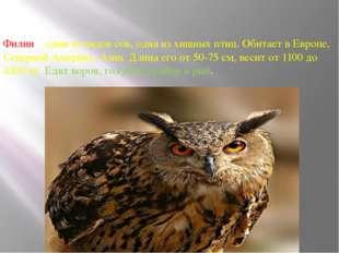 Филин – один из видов сов, одна из хищных птиц. Обитает в Европе, Северной Ам