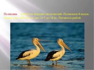 Пеликаны – любители морских мелководий. Пеликанов 8 видов. Длина тела 130-180