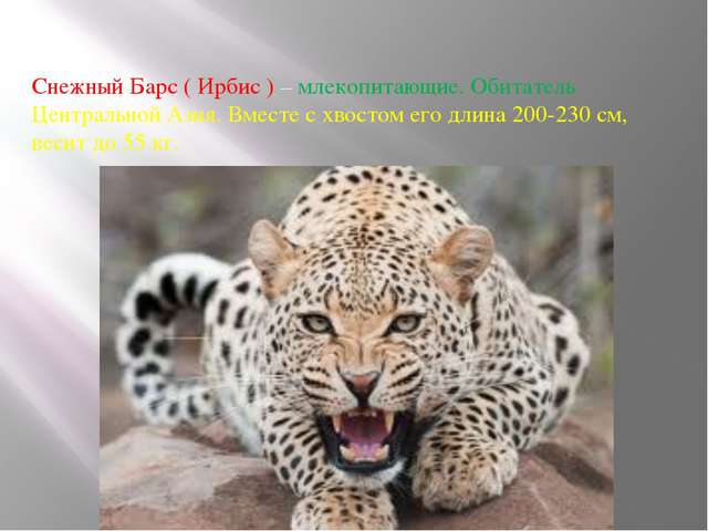 Снежный Барс ( Ирбис ) – млекопитающие. Обитатель Центральной Азия. Вместе с...