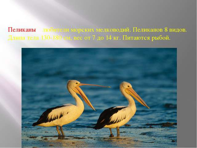 Пеликаны – любители морских мелководий. Пеликанов 8 видов. Длина тела 130-180...
