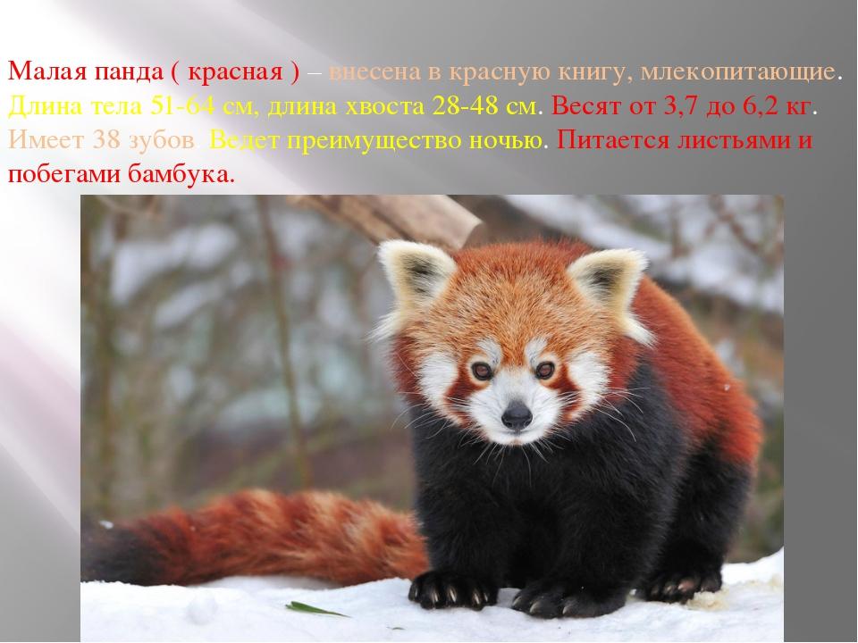 Малая панда ( красная ) – внесена в красную книгу, млекопитающие. Длина тела...