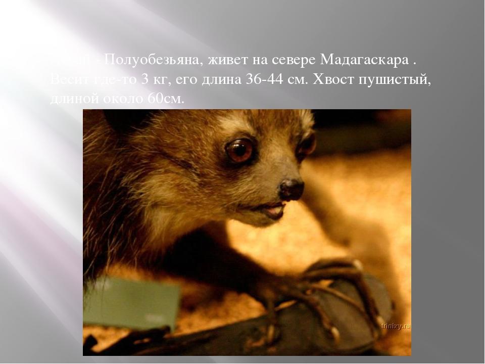 Ай-ай - Полуобезьяна, живет на севере Мадагаскара . Весит где-то 3 кг, его дл...