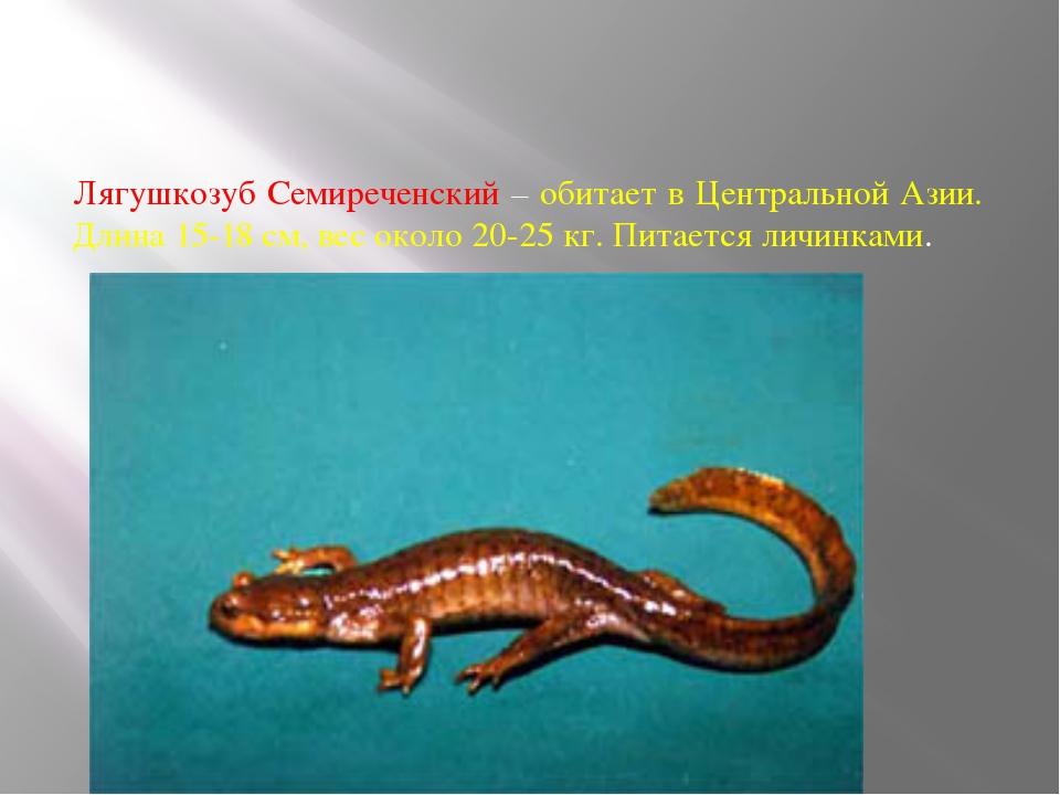 Лягушкозуб Семиреченский – обитает в Центральной Азии. Длина 15-18 см, вес ок...