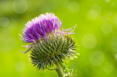 http://us.123rf.com/400wm/400/400/ivicans/ivicans1201/ivicans120100039/12058132-blossoming-thistle-with-pink-flowers-on-green-background.jpg