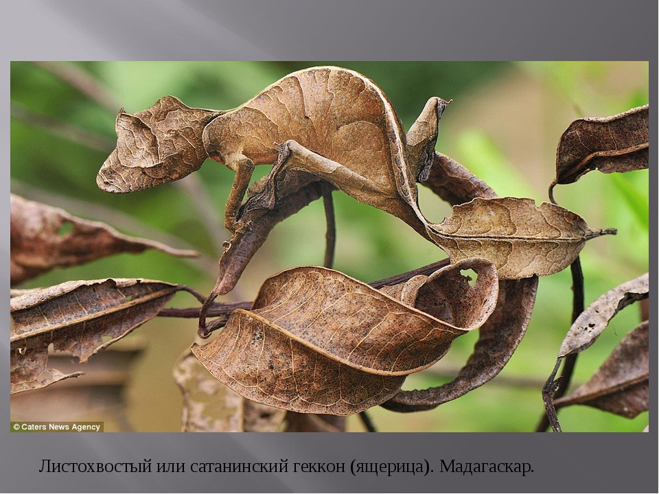 Листохвостый или сатанинский геккон (ящерица). Мадагаскар.