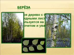Лиственное дерево с белой корой и сердцевидными листьями, с давних пор пользу