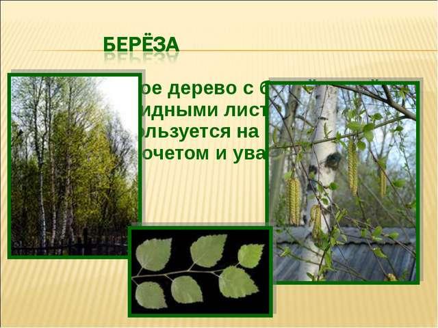 Лиственное дерево с белой корой и сердцевидными листьями, с давних пор пользу...