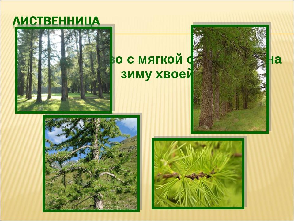 Хвойное дерево с мягкой опадающей на зиму хвоей