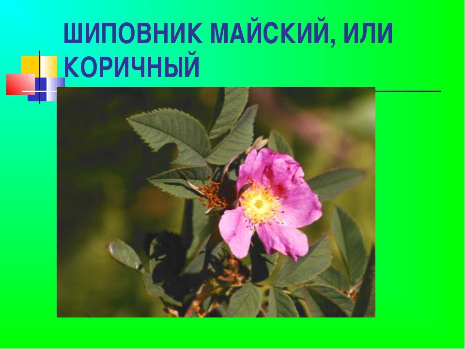 ШИПОВНИК МАЙСКИЙ, ИЛИ КОРИЧНЫЙ