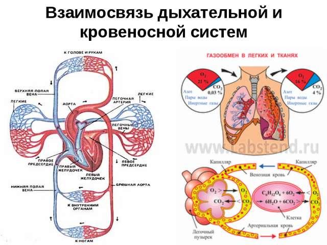 Взаимосвязь дыхательной и кровеносной систем