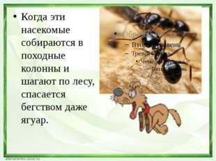 Когда эти насекомые собираются в походные колонны и шагают по лесу, спасаетс