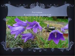 Растения. Колокольчик ардонский
