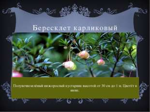 Бересклет карликовый Полувечнозелёный низкорослый кустарник высотой от 30 см