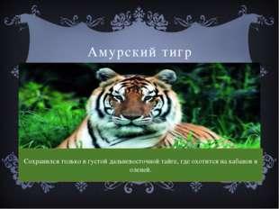 Амурский тигр Сохранился только в густой дальневосточной тайге, где охотится