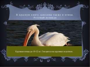 В красную книгу занесены также и птицы. Розовый пеликан Крупная птица до 10-1