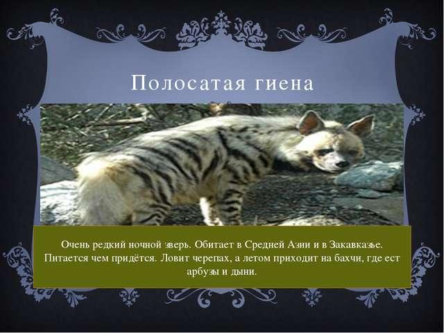 Полосатая гиена Очень редкий ночной зверь. Обитает в Средней Азии и в Закавка...