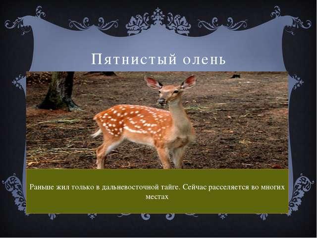 Пятнистый олень Раньше жил только в дальневосточной тайге. Сейчас расселяется...