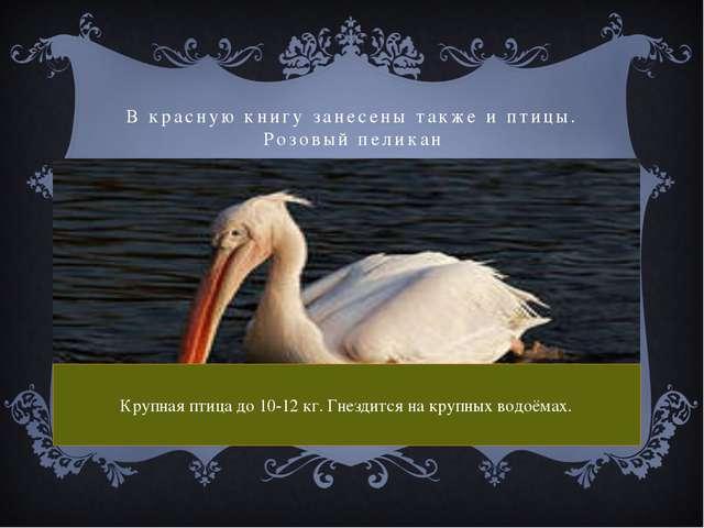 В красную книгу занесены также и птицы. Розовый пеликан Крупная птица до 10-1...