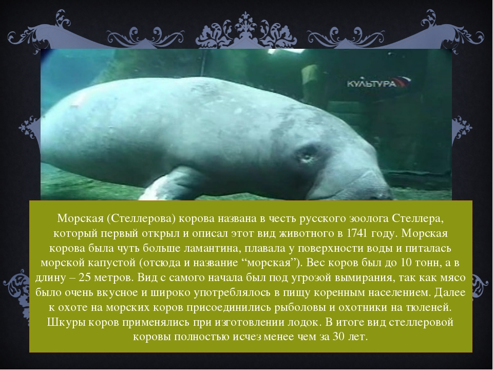 Морская (Cтеллерова) корова названа в честь русского зоолога Стеллера, котор...