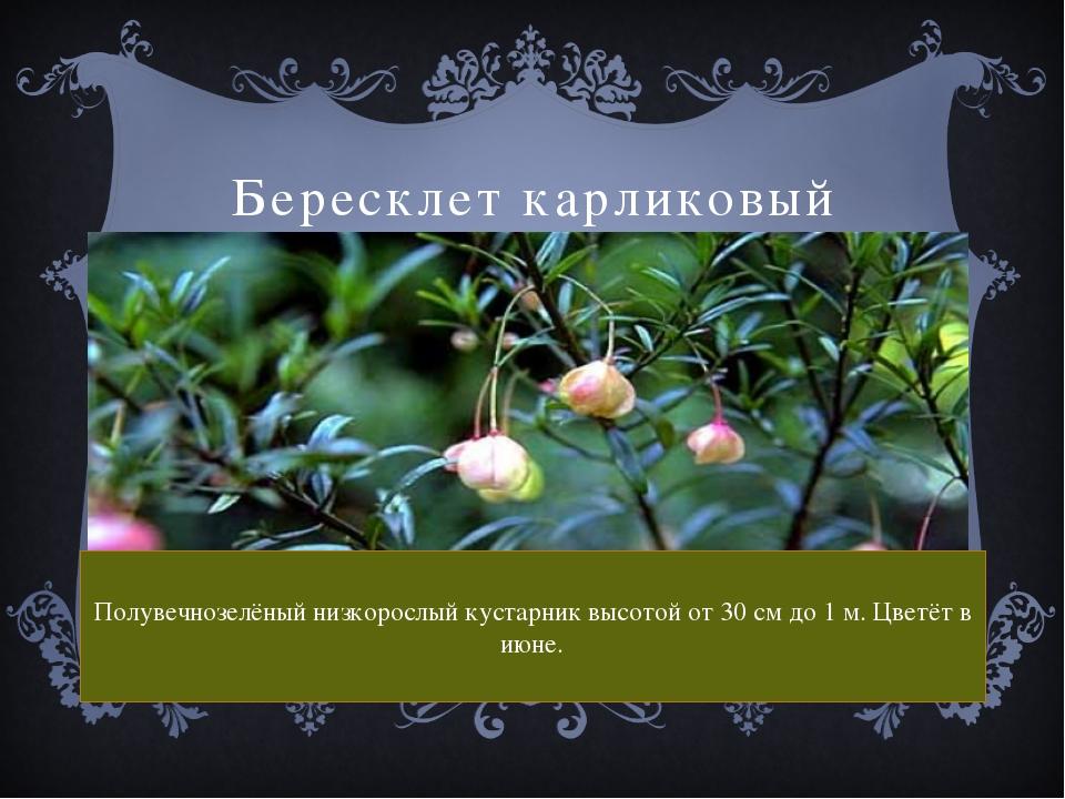 Бересклет карликовый Полувечнозелёный низкорослый кустарник высотой от 30 см...