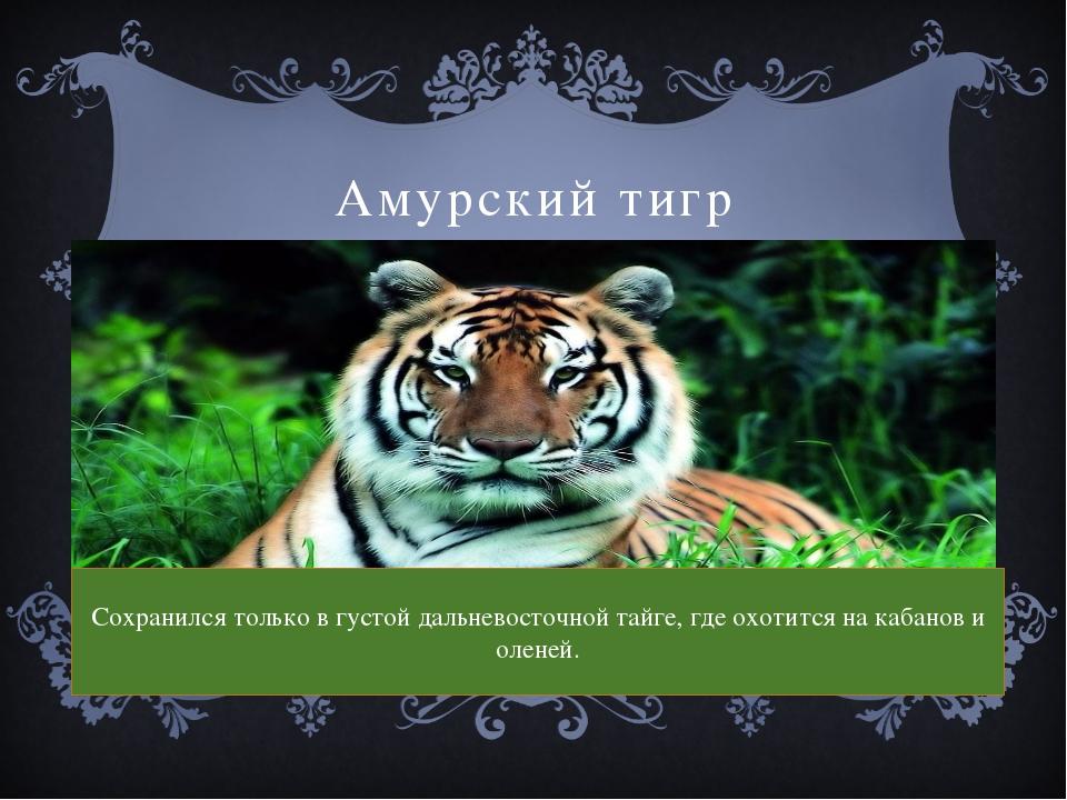 Амурский тигр Сохранился только в густой дальневосточной тайге, где охотится...