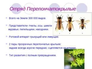 Отряд Перепончатокрылые Всего на Земле 300 000 видов. Представители- пчелы,