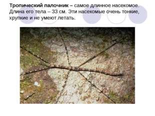 Тропический палочник – самое длинное насекомое. Длина его тела – 33 см. Эти н