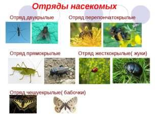 Отряды насекомых Отряд двукрылые Отряд перепончатокрылые Отряд прямокрылые От