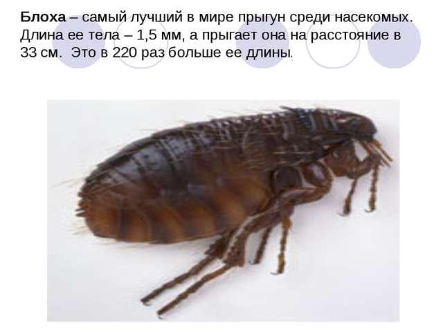 Блоха – самый лучший в мире прыгун среди насекомых. Длина ее тела – 1,5 мм, а...