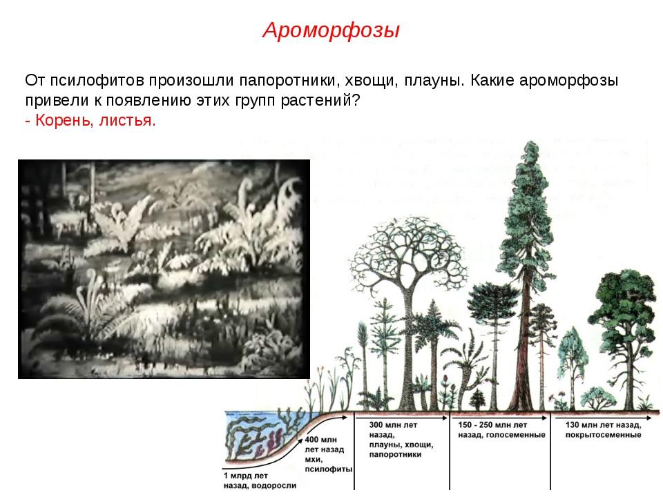 От псилофитов произошли папоротники, хвощи, плауны. Какие ароморфозы привели...
