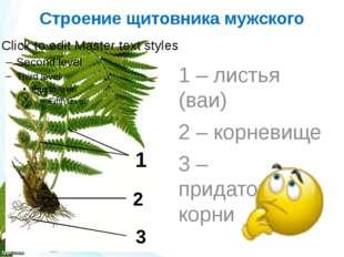Строение щитовника мужского 1 – листья (ваи) 2 – корневище 3 – придаточные ко