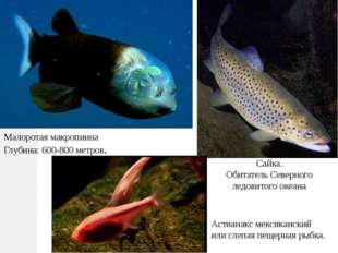 Малоротая макропинна Глубина: 600-800 метров. Сайка. Обитатель Северного ледо