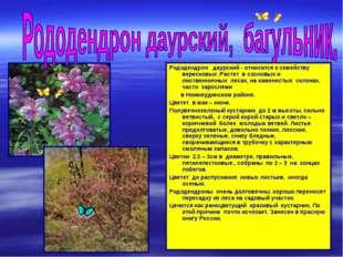 Рододендрон даурский - относится к семейству вересковых .Растет в сосновых и