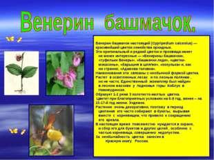 Венерин башмачок настоящий (Cypripedium calceolus) — красивейший цветок семе